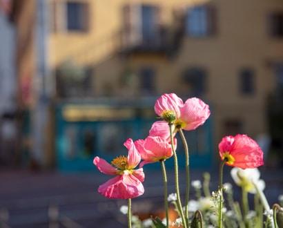 Fleurs dans la Vieille Ville
